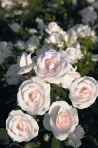 Rosa Aspirin Rose ®