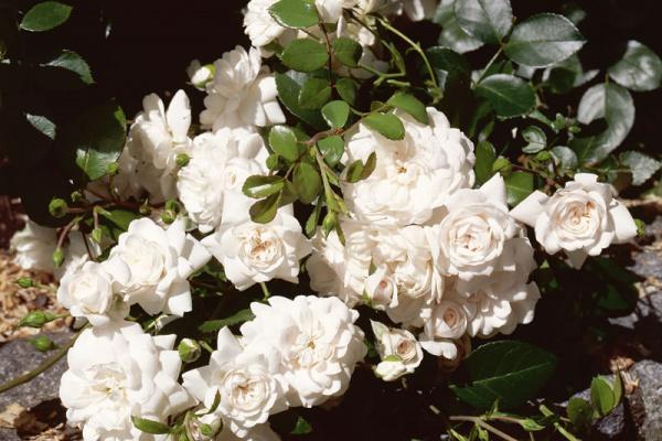 Rosa Domenica®