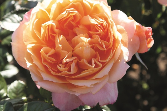 Crown Princess Margareta® (rampicante)