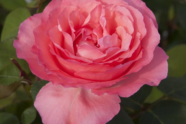 Panthere Rose®