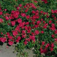 Rosa Rody ®